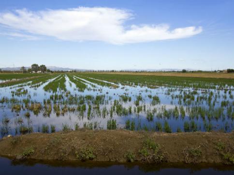 Plantada de l'arròs al Delta de l'Ebre / Thinkstock (Pepj)