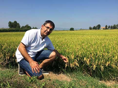 Rafael Margalef amb els camps d'arròs a punt de ser segats.